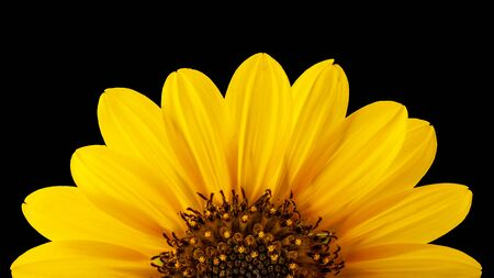 Texas Wild Sunflower (Common sunflower, Annual sunflower)  -  Helianthus annuus L. isolated on black Фото со стока