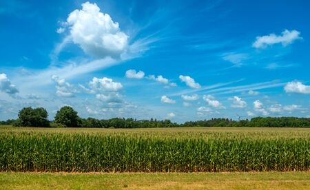 Corn field and sky with beautiful clouds on a bright summer day