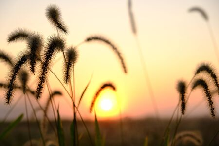 Wild grass silhouettes against sunset sky