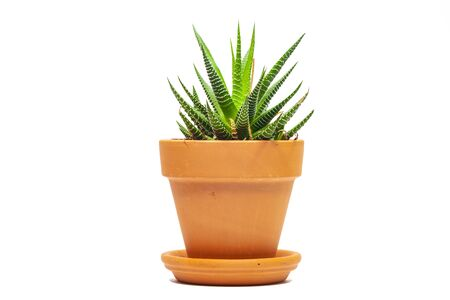 Succulent plant in pot, isolated on white
