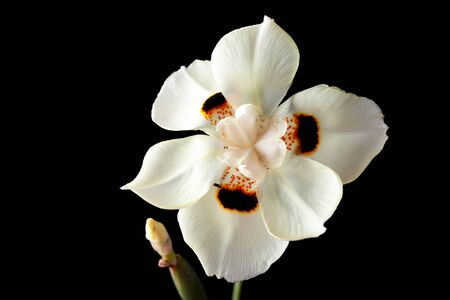 African white iris or Dietes Bicolor flower isolated on black Archivio Fotografico