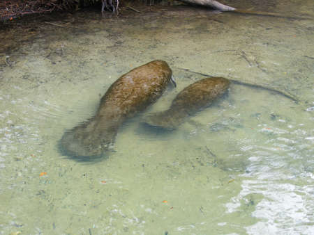 Manatee with baby in the Homosassa River, Florida