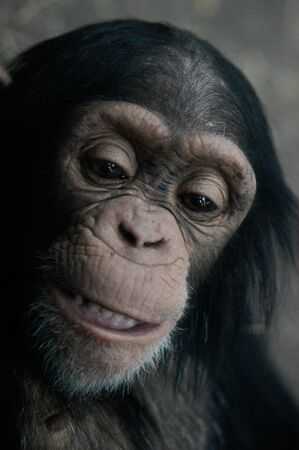 Animal - Chimpanzee (Pan Troglodyte) Imagens