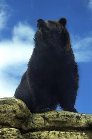 arctos: animal - grizzly bear (ursus arctos) Stock Photo