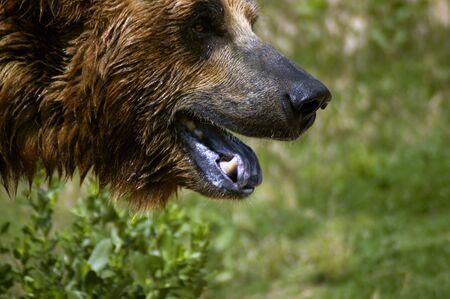 animal - grizzly bear (ursus arctos) Stock Photo