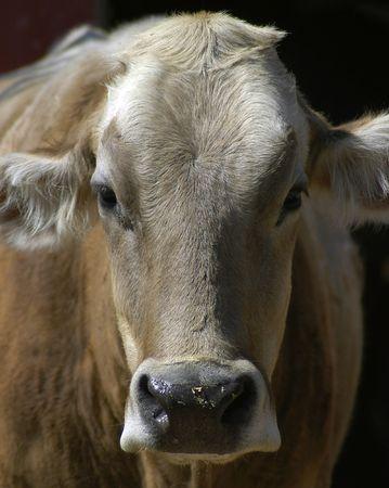 heffer: Animal - Cow Stock Photo
