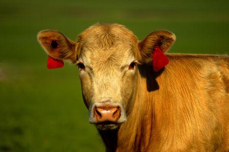 Animal - Cow Stock Photo - 387819