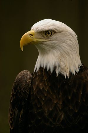 bird - bald eagle (haliaeetus leucocephalus)