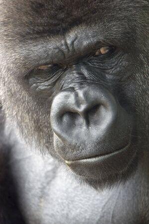 animal - gorilla (gorilla gorilla gorilla)