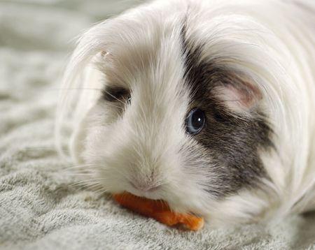 animal - guinea pig (cavia porcellus)
