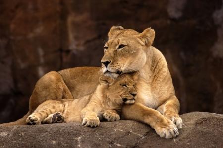 カブ: 動物 - アフリカのライオン (パンテーラ レオ krugeri)