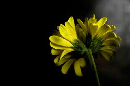 doubleheaded: Double-headed gerbera daisy Stock Photo