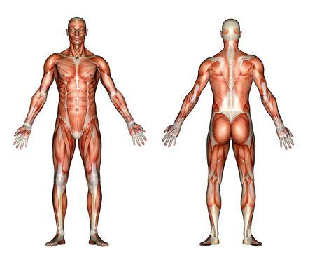 muscle anatomy: Illustration - Male Anatomy
