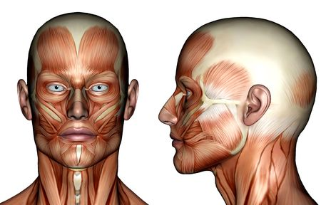 anatomy muscles: Illustration - Face Muscles
