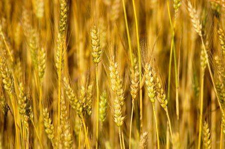Nature - Wheat Stalks Imagens