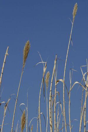 Nature - Grass Reeds