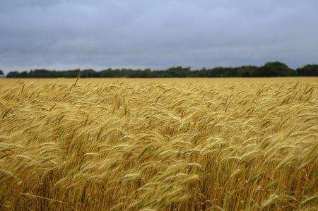 Nature - Wheat Field