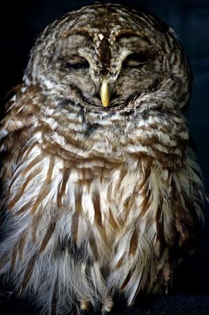 barred: Bird - Barred Owl (Strix Varia) Stock Photo