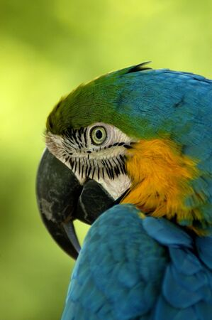 An over-the-shoulder look of a Blue and Yellow Macaw (Ara ararauna)