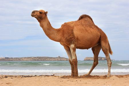 Camel on the beach in Morocco Zdjęcie Seryjne