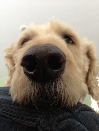 dog nose: Close up su un naso di cane Archivio Fotografico