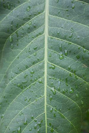 kropla deszczu: raindrop on leaf