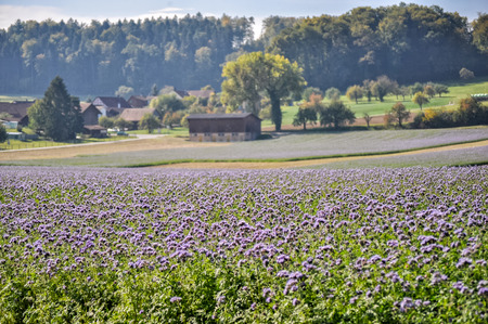 Purple flower field on the outskirts of Paris, France