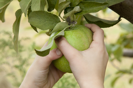 A little girl reaches into an apple tree and picks a Granny Smith apple  photo