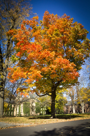 A beautiful Maple tree boasts fall foliage at Princeton Universtiy in New Jersey photo