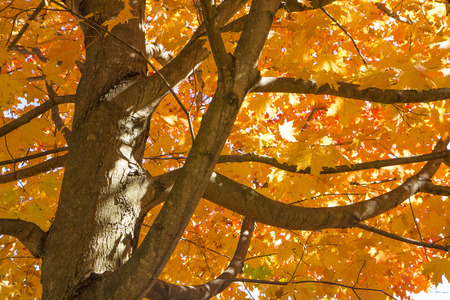 The bright leaves of a maple tree in autumn photo