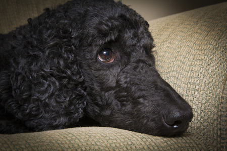 A blue colored Standard Poodle relaxes on a sofa - closeup of face photo