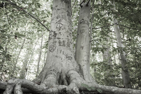 bark carving: A tree is carved with all sorts of hearts and initials