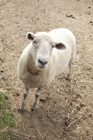 A sheep looks up as if it is waiting to be fed at a petting zoo