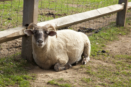 petting: A sheep with horns relaxes in a petting zoo