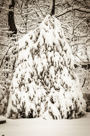 blanketed: A large evergreen tree is blanketed in soft, shimmering snow; a fresh snowfall; vertical format; sepia vintage colortone