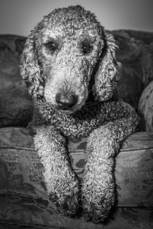 A silver colored Standard Poodle sits on a sofa and poses for a photo   Black and white colortone photo