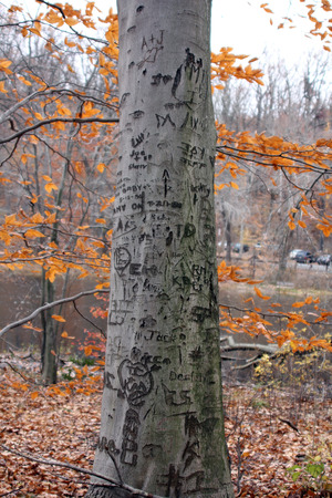 A tree is carved with various initials and expressions   Autumn leaves are in the background photo