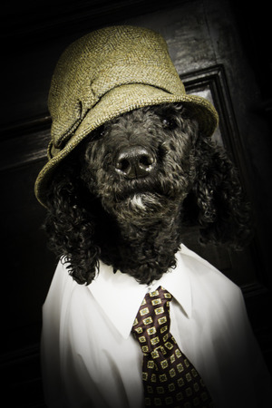 k 9: A Standard Poodle is dressed to the nines in a wool hat, white dress shirt, and tie