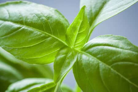 The leaves of a sweet basil plant are seen closeup