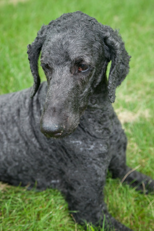 An older, male blue standard poodle sits in the bright summer grass. Stok Fotoğraf - 42309637