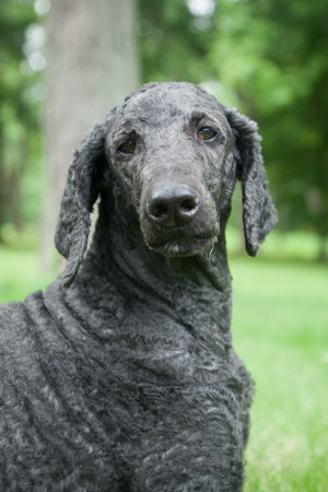 mans best friend: An older, male blue standard poodle sits in the bright summer grass. Stock Photo