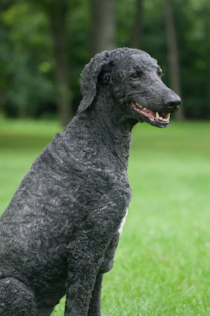 An older, male blue standard poodle sits in the bright summer grass. Stok Fotoğraf