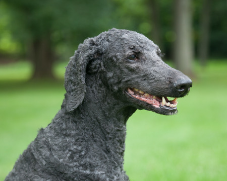 An older, male blue standard poodle sits in the bright summer grass. Stok Fotoğraf - 42309670