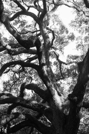Majestic oak tree in Savannah, Georgia in black and white