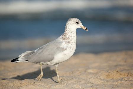 aviary: Seagull on Beach