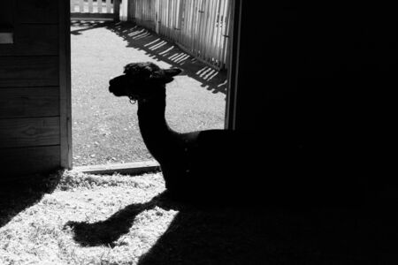 camel silhouette: Camel silhouette in black and white