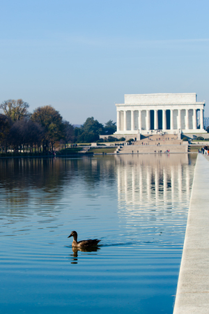 district of columbia: Washington DC - December 6, 2015:  A duck swims in the peaceful reflection pool in front of the Lincoln Memorial