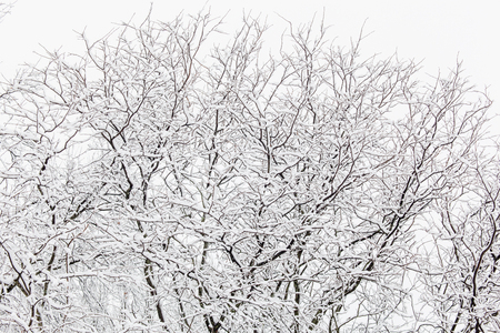 snowstorm: Beautiful white snow blankets the trees after a snowstorm Stock Photo