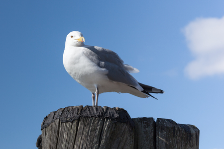 sea gull: A Sea Gull stands on top of a piling at a boat dock. Stock Photo