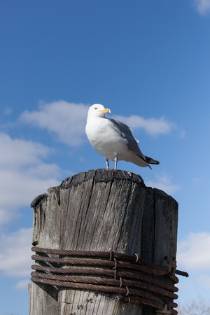 boat dock: A Sea Gull stands on top of a piling at a boat dock. Stock Photo